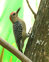IMG_5022 woodpecker in tree copy